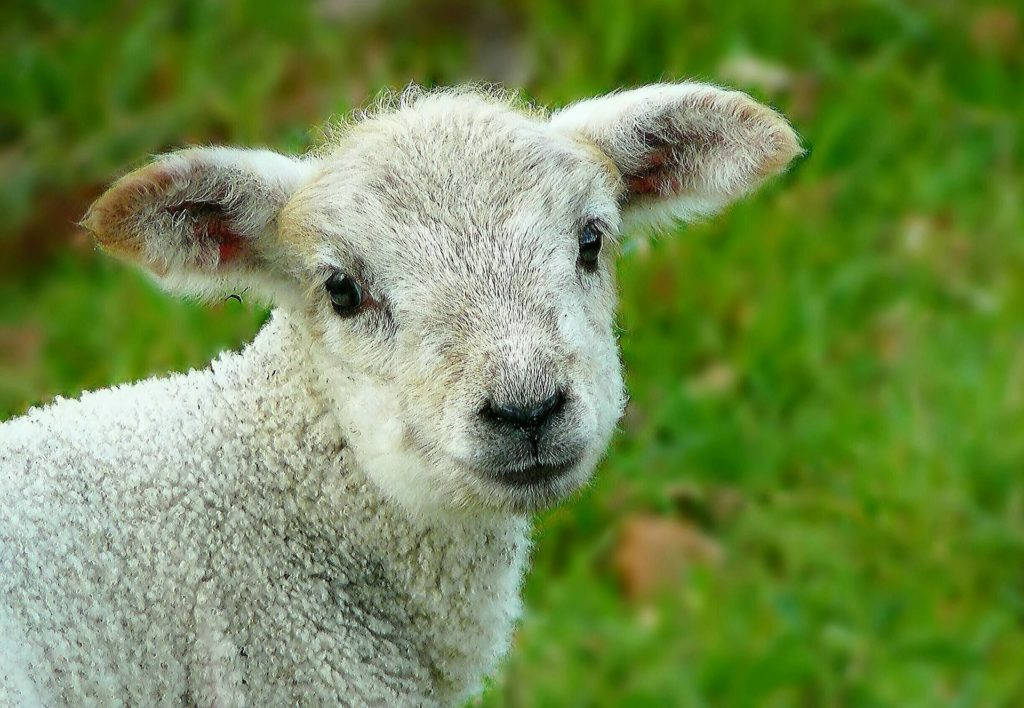 A lamb turned to the camera as if speaking. Regeneration is being born again.